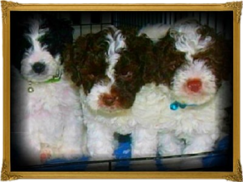 brown and white parti mini labradoodles for sale in california