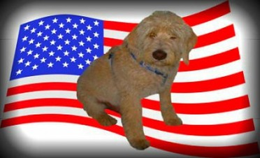 large standard cream labradoodle for sale in california california labradoodle breeder