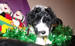 black and white parti labradoodle for sale in california ca