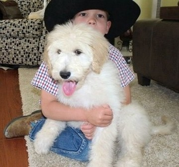 cream standard goldendoodle huge big dog in california