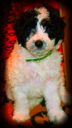 black and white parti mini labradoodle for sale in california ca