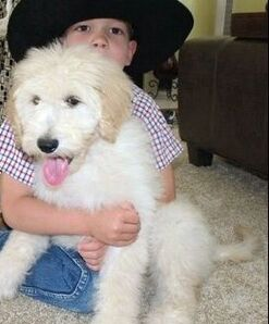California Labradoodles - Labradoodle Breeders Puppies For